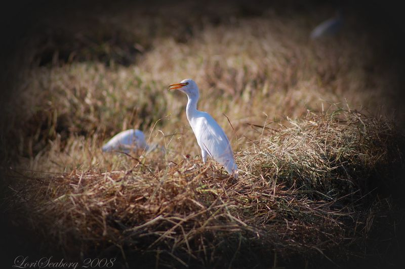 Egrets, I think. In the farmer's field.