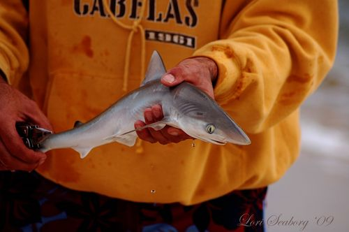 Baby shark 1