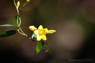 Photo of Carolina Jessamine by Lori Seaborg; Link to Wildflowers Site