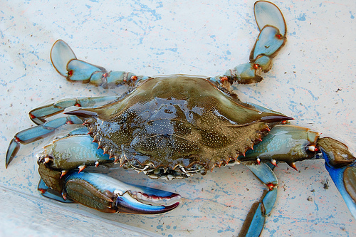 Blue Crab of Perdido Bay