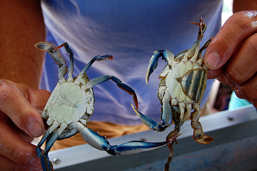 Male and Female Crabs of Perdido Bay