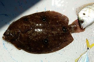 flounder in Perdido Bay
